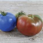 tomato-gmo-blue